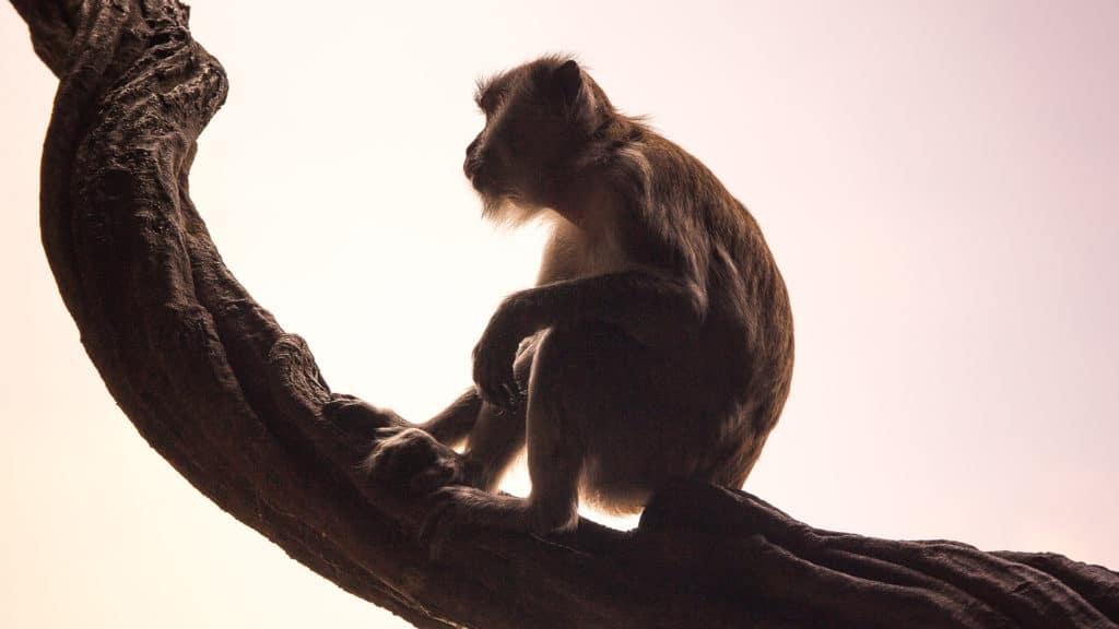 Meditation Affe im Kopf
